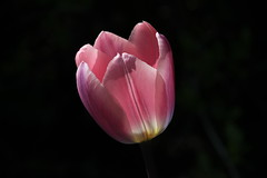 Tulip (ricmcarthur) Tags: flower holland netherlands spring may naturallight tulip nophotoshop