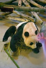 Panda Stand (Sacha 2D) Tags: leica toronto ontario canada animals zoo panda pandas torontozoo leicam8 leicaelmarm50mmf28 lensblr photographersontumblr