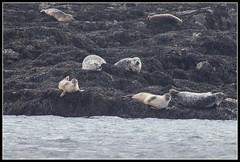 Sleeping Seals (Donald Noble) Tags: sea seaweed skye beach water animal fauna landscape mammal scotland boat marine wildlife canoe seal algae ord seashore sleat