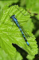 Leighton Moss RSPB (Man with Red Eyes) Tags: naturereserve damselfly d3 rspb leightonmoss nikond3 malecommonblue 70210f4d