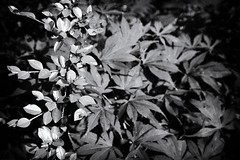 Garden Leaves (dmjames58) Tags: monochrome leaves canon nik
