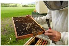 Bees (Coming into land ) (Davidap2009) Tags: nature bees honey hive d800 beekeeper nikonflickraward afszoomnikkor2470mmf28ged