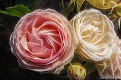 Roses (Bozze) Tags: roses texture creative kreativ vk rosor donsö wwwoppnahorisonterse