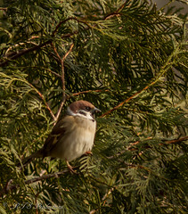 Sparrow in an Arborvitae (Rick Smotherman) Tags: wood trees winter stpeters nature leaves birds canon garden outdoors backyard december overcast sparrow 7d cloudysky songbirds canon300mmf4l canon7d canon14teleconverter