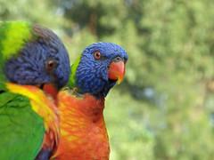 Lorikeets (Kaptain Kobold) Tags: blue portrait orange green bird animal yellow lorikeet parrot australia ranbow kaptainkobold yourfave