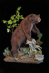 "Utah Bear Taxidermy • <a style=""font-size:0.8em;"" href=""http://www.flickr.com/photos/27376150@N03/9415278893/"" target=""_blank"">View on Flickr</a>"