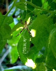 la signature de l'araignée (b.four) Tags: spider araignée ragno dda alpesmaritimes cagnessurmer coth diamondclassphotographer flickrdiamond citrit rubyphotographer damniwish mygearandme