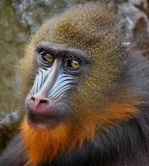 Mandrill Portrait (Osgoldcross Photography) Tags: blue portrait brown nature face animal hair nose monkey amber eyes nikon raw naturalhistory ape primate mandrill hairs oldworldmonkey nikond7100