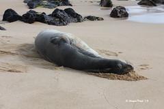 Hawaiian Monk Seal (Monachus schauinslandi) (Gerald (Wayne) Prout) Tags: hawaii kauai seals animalia mammalia endangeredspecies monachus hawaiianmonkseal carnivora chordata phocidae poipubeachpark monachusschauinslandi