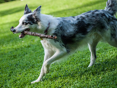Bring the stick back to mom (Graham Gibson) Tags: park blue dog playing fur collie pittsburgh coat border olympus panasonic stick bordercollie fetch merle 45mm gf1