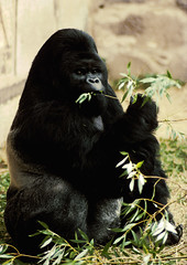 Eastern lowland gorilla 'Mukisi' (gentle lemur) Tags: chesterzoo easternlowlandgorilla ggorillagraueri
