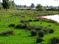 Grauwe ganzen in de Tiendgorzen_02932-imp (John van Rhijn) Tags: trees water geese bomen ganzen gras nieuwendijk zuidholland natuurgebied tiengemeten zuidbeijerland hoekschewaard grauweganzen korendijk tiendgorzen sonydschx200v johnvanrhijn