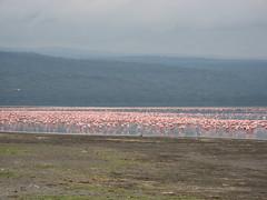 Safari fotografico @Lake Nakuru Nat. Park (www.kenyanonsolosafari.com) Tags: vacation holiday kenya safari savannah transports roads bigfive masaimara migrazione blusafari wildebeestmigrate thekenyancoast costadelkenya