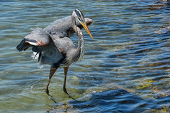 Watchful (Susan Hall Frazier) Tags: birds wings fishing feeding birding beak birdwatching greatblueheron isladelsol stpetersburgflorida wadingbirds bocaciegabay nikond800 blinkagain inspiringcreativeminds