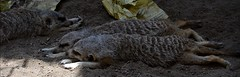 Meerkat (Suricata Suricatta) (Adventurer Dustin Holmes) Tags: animal animals mammal meerkat mammals animalia mammalia suricate suricatasuricatta meerkats zooanimals zooanimal carnivora kansascityzoo chordata 2013 ssuricatta herpestidae suricates kczoo