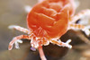 Trombidiidae (lagunadani) Tags: sony a330 mites mite collembola aracnidos trombidium objetivoinvertido acaro acaros colemobolo