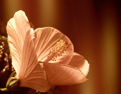 May Joy Always Live Within Your Heart (Barbacci) Tags: flower floral blossom hibiscus winner bloom unanimous takenwithlove 15challengeswinner unanimouswinner thechallengefactory thechallengefactorywinner