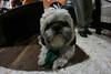 Descansando Agusto!!! (José Ramón de Lothlórien) Tags: dog pet hair jr perro littledog mascota perrito pelos shitsu producciones pelitos