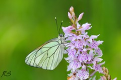 Black-veined White (Reinhardt Strubbe) Tags: white animals fauna butterfly insects blackveined