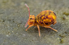 Globular Springtail, sideview (steb1) Tags: macro insect springtail canonmpe65mm collembola globularspringtail canonmt24ex dicyrtominaornata concavediffuser