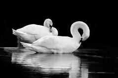 A Pair (crmanski) Tags: blackandwhite bird monochromatic swans pairs