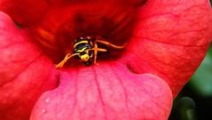 257macro (Hegyaljai Imre) Tags: macro insect makro insekten rovar makr rovarok hegyaljaii