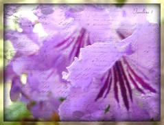 Holiday purple! (tarelkaz1) Tags: flowers two macro texture crazy flora purple memories violet experiment flickraward flowersarebeautiful excellentsflowers natureselegantshots naturethroughthelens sonydscs730 theoriginalgoldseal mygearandme ipiccy