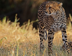 Time to move on! (Rainbirder) Tags: kenya ngc npc cheetah maasaimara acinonyxjubatus rainbirder