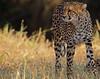 Time to move on! (Rainbirder) Tags: kenya ngc npc cheetah maasaimara acinonyxjubatus rainbirder