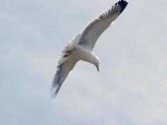 JONATHAN LIVINGSTON SEAGULL – JUAN SALVADOR GAVIOTA (ipomar47) Tags: juan pentax jonathan seagull bach richard salvador gaviota livingston d20d