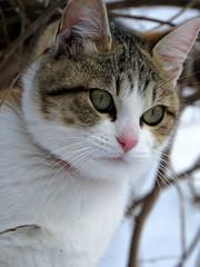 snow and cat IMG_4058 (by ENJOY DESIGN) Tags: animal cat japanese calico 猫 動物 ネコ 三毛猫 猫写真 縞三毛 雌ネコ