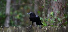 The Dare (Zoom Lens) Tags: bird birds explore intelligence sacred mystical crow spiritual crows corvid avian intelligent corvids johnrussellakazoomlens copyright©byjohnrussellallrightsreserved crowlife