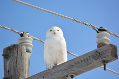 I'm Watching You (rabidscottsman) Tags: scotthendersonphotography bird owl snowyowl vermillionminnesota mn minnesota raptor predator white whiteowl animal animalphotography wood powerlines nikon nikond7100 d7100 beautiful wild insulator wildlife wildlifewednesday flickr socialmedia usa unitedstatesofamerica sigma sigma150500 insulators