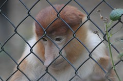 Nasenaffe im Apenheul (Ulli J.) Tags: netherlands zoo nederland paysbas apenheul veluwe apeldoorn niederlande gelderland proboscismonkey nasenaffe longnez nasique neusaap longnosedmonkey singetrompe
