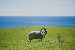 Marco the Buffalo X Sheep (tM..) Tags: buffalo sheep cartoon pussy marshall marco ncaa bison herd thundering