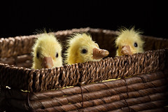 Happy Easter! (Solomulala | mostly weekends ;-( !) Tags: baby animal easter aves goose newborn oca 2014 riudellots solomulala murielcdejong