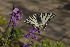 Scarce Swallowtail (Quality Gate 5b) Tags: lourges sonya65 hdrengine carlzeiss1680mmsouthoffrance franceoloneo