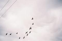 Chasing the perfect flock photo (knautia) Tags: uk england film bristol pigeons flock may olympus ishootfilm 200iso bedminster myfavouritefromtheroll xa agfa wheeling olympusxa 2014 agfavista thenursery chessels xaroll14