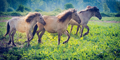 _DSC7360.jpg (Ingeborg Ruyken) Tags: morning horses nationalpark spring flickr may mei lente lopen denbosch ochtend shertogenbosch facebook paarden naturephotography 2015 konik natuurgebied koniks natuurfotografie walkig diezemonding 500pxs