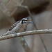 Ladder-backed Woodpecker, Teotitl�n del Valle, Oaxaca, Mexico