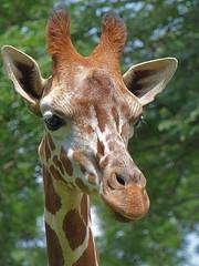 Anuli (ak82984) Tags: giraffe marylandzooinbaltimore