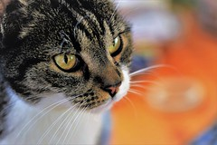 it's a girl...🐱 (martinap.1) Tags: katze cat nature sigma 105mm macro makro natur haustier animal pet kitty nikon d3300 7dwf