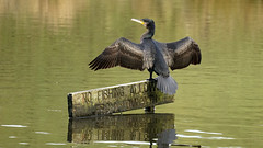 Caught in the Crime (Mark BJ) Tags: daisynook countrypark failsworth manchester uk oldham greatcormorant lake crimelake phalacrocoraxcarbo cormorant sign nofishingallowed nofishing black wings drying freshwater reptilian sat stood standing
