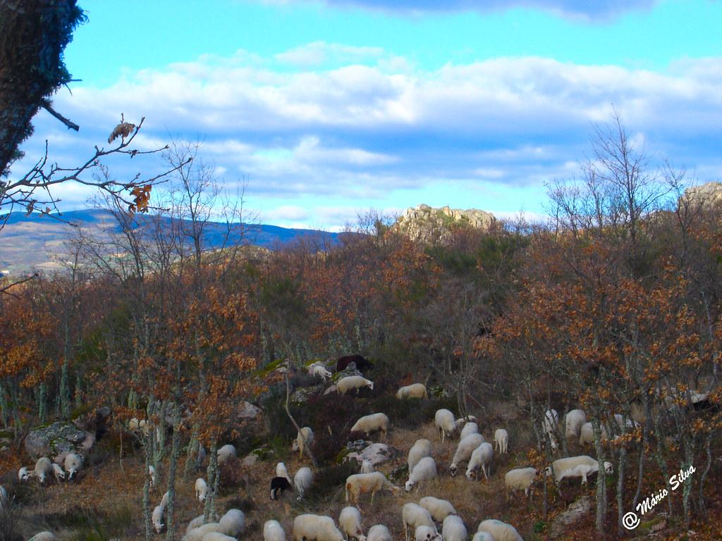 Águas Frias (Chaves) - ... rebanho de ovelhas brancas e pretas ...