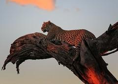Leopard at sunset (rachelsloman) Tags: leopard night sunset botswana kwai