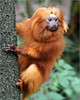 Golden lion tamarin on the lookout (Foto Martien) Tags: goldenliontamarin goldenlionmarmoset goudenleeuwaapje goldeneslöwenäffchen tamarinliondoré petitsingeliondoré tamarinsoyeux tamarinoleóndorado titíleoncito sauípiranga sauimvermelho micoleãodourado leontoceborosalia scimmialeonina leontopithecusrosalia callitrichidae callitrichinae klauwaapje newworldmonkey ape aap primate primaat atlanticcoastalregionsoutheastbrazil poçodasantasbiologicalreserve apenheul primatepark monkeyzoo zoo dierentuin dierenpark apeldoorn veluwe gelderland netherlands nederland holland dutch a550 sonyalpha550 sony70300gssmlens martienuiterweerd fotomartien