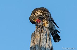 Dinner time for backyard Merlin Falcon