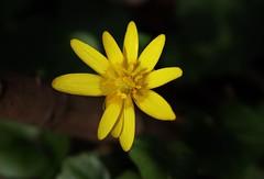 Spring Flower (Hugo von Schreck) Tags: hugovonschreck blume flower wildblume wildflower macro makro canoneos5dsr tamron28300mmf3563divcpzda010