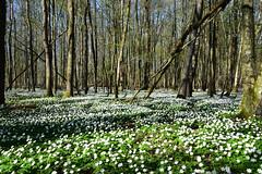 Anémone des bois (Croc'odile67) Tags: nikon d3300 sigma contemporary 18200dcoshsmc fleurs flowers arbres trees forest forets printemps spring fruhling