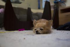 nap time (20EURO) Tags: dog chihuahuasa nap snooze olddog boring hungry チワワ 昼寝 warm break relax